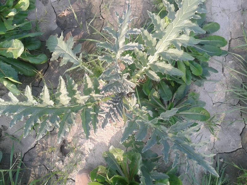 Wild Quality Natural Brown Powder Cynara Scolymus Leaf,Fresh ...