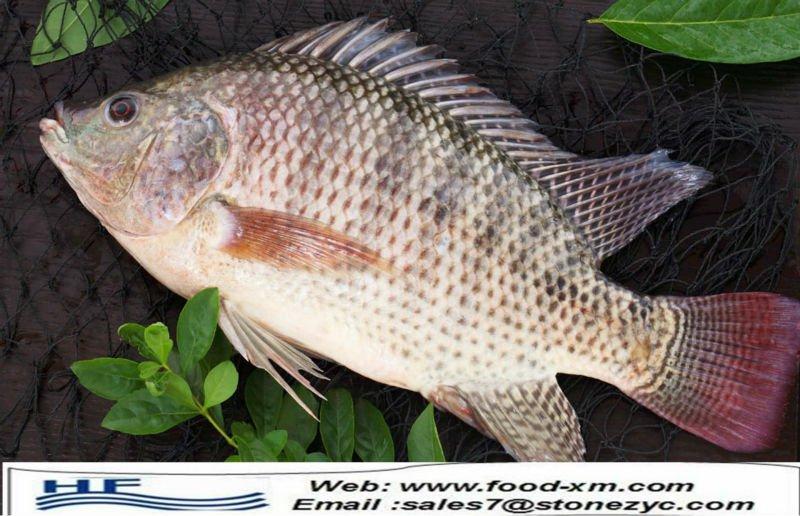 Farm raised frozen whole tilapia oreochromis niloticus for Farm raised fish