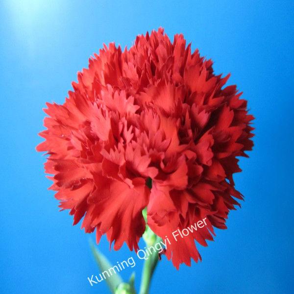 Wholesale Most Popular High Quality Carnations Fresh Cut
