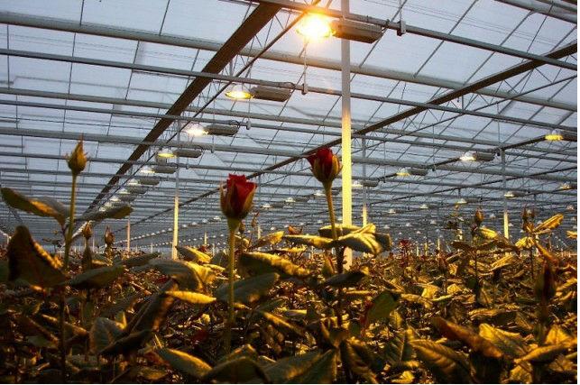 Освещение теплицы для выращивания роз 23