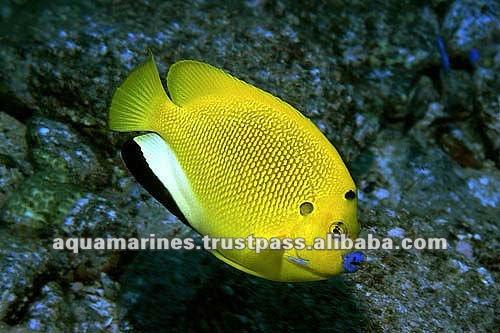Blue Palette Tang Fish Wholesale Tropical Fish Buy
