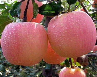 87+ Gambar Apel Dan Mangga Terlihat Keren