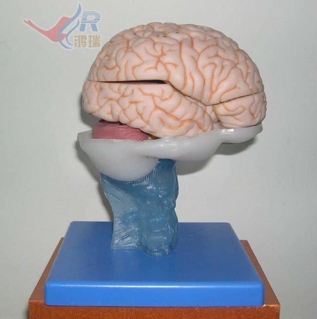 Heiße Verkäufe Wissenschaftlichen Medizinischen Menschliche Gehirn ...