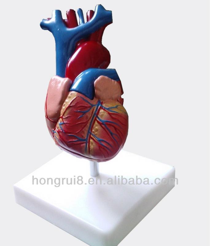 Venta Caliente Adulto Humano Anatomía Del Corazón Modelo Anatómico ...
