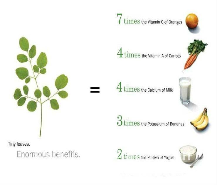 Wholesale Moringa Tree Leaf Powder Health Benefits