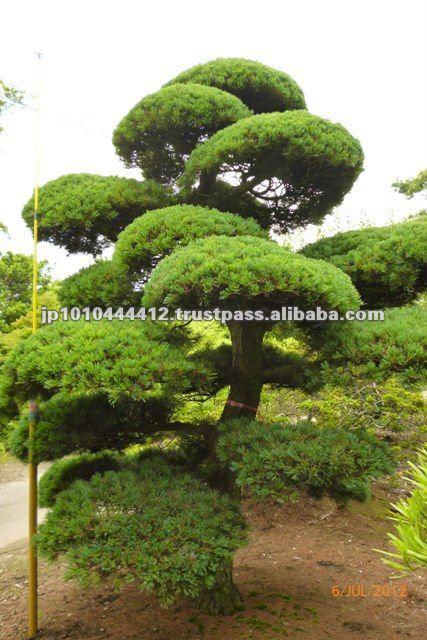Bonsai Grande Per Giardino Di Pinus Parviflora