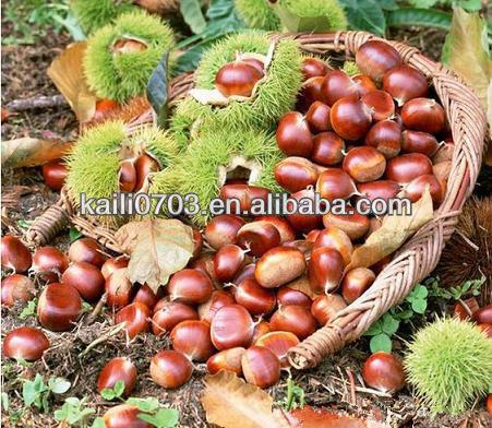 Chestnut Buah Mengandung Vitamin D Chestnut Sayuran Mengandung