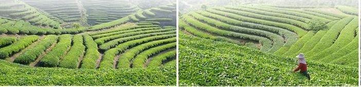 EU Standard Organic Chinese Green Tea Powder Soluble Edible Pure Green Matcha Tea - 4uTea   4uTea.com