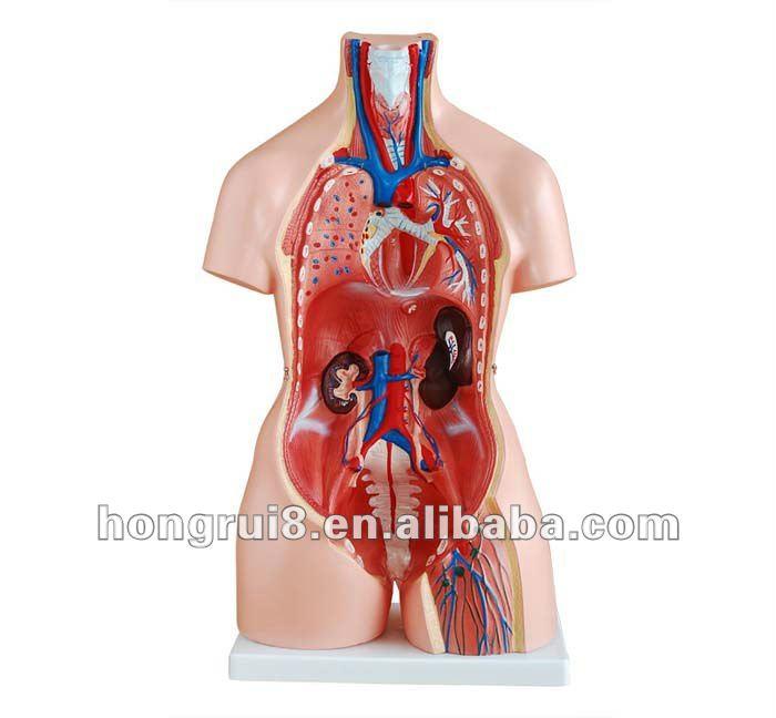 Секс анатомия человека