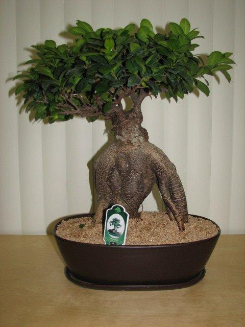 Es Muy Dificil Cuidar Un Ficus Bonsai Forocoches